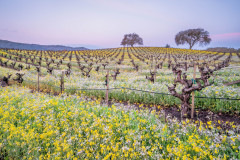 Mustard at Dawn, Sonoma Valley