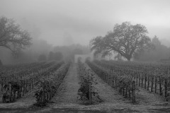 Fog Shrouded Merlot