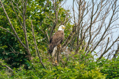 Bald Eagle in Wild