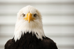 Bald Eagle (captive)