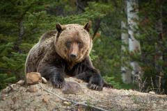 Jasper Grizzly