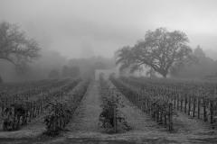 Fog Shrouded Merlot