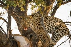 Leopard Feasting on Impala