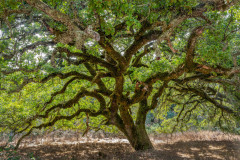 Majestic Oak, Sonoma Valley